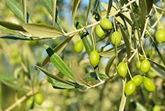 olivo-oliva-aceite